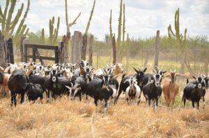 Morte de cabras e ovelhas intriga criadores no sertão de Pernambuco