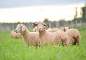 As principais doenças que afetam os ovinos